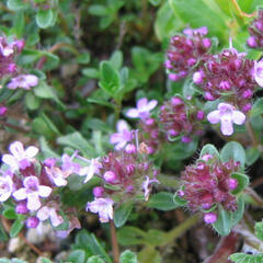 Mateřídouška - Thymus serpyllum ssp. tenuifolia