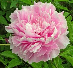 Pivoňka bělokvětá 'Sweet Harmony' - Paeonia lactiflora 'Sweet Harmony'