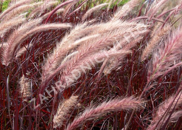 Dochan setý 'Rubrum' - Pennisetum setaceum 'Rubrum'