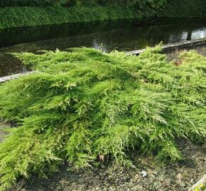 Jalovec prostřední 'Pfitzeriana' - Juniperus media 'Pfitzeriana'