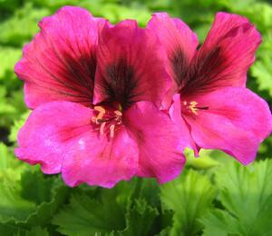 Muškát, pelargonie velkokvětá 'Aristo Claret' - Pelargonium grandiflorum 'Aristo Claret'