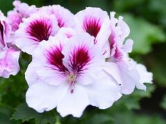 Muškát, pelargonie velkokvětá 'Aristo Petticoat' - Pelargonium grandiflorum 'Aristo Petticoat'