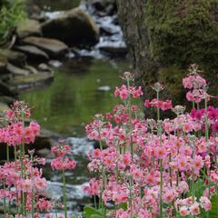 Prvosenka japonská 'Apple Blossom' - Primula japonica 'Apple Blossom'