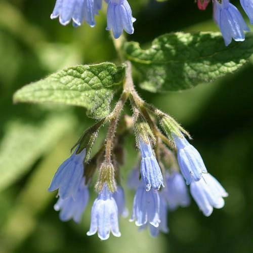 Kostival 'Hidcote Blue' - Symphytum grandiflorum 'Hidcote Blue'