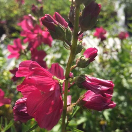 Slézovník 'Croftway Red' - Sidalcea 'Croftway Red'