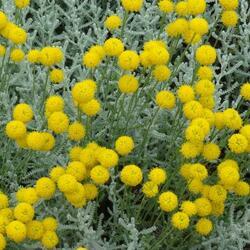 Svatolina 'Silberblättrig' - Santolina chamaecyparissus 'Silberblättrig'