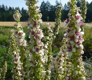 Divizna 'Wedding Candles' - Verbascum chaixii 'Wedding Candles'