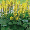 Popelivka - Ligularia stenocephala - hybrid