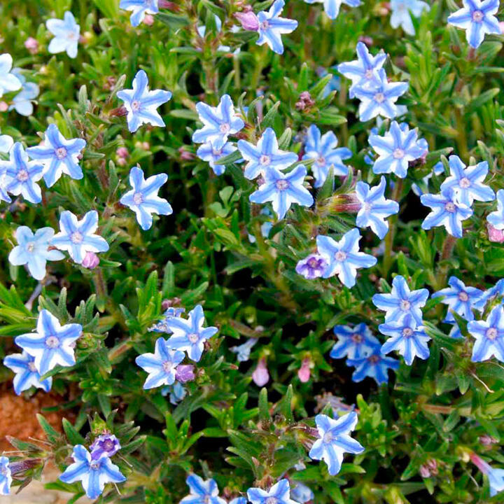 Kamejka 'Blue Star' - Lithodora diffusa 'Blue Star'
