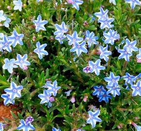 Kamejka 'Blue Star' - Lithodora diffusa 'Blue Star'
