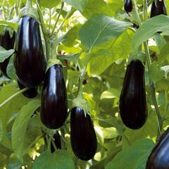 Lilek vejcoplodý 'Nero' - Solanum melongena 'Nero'