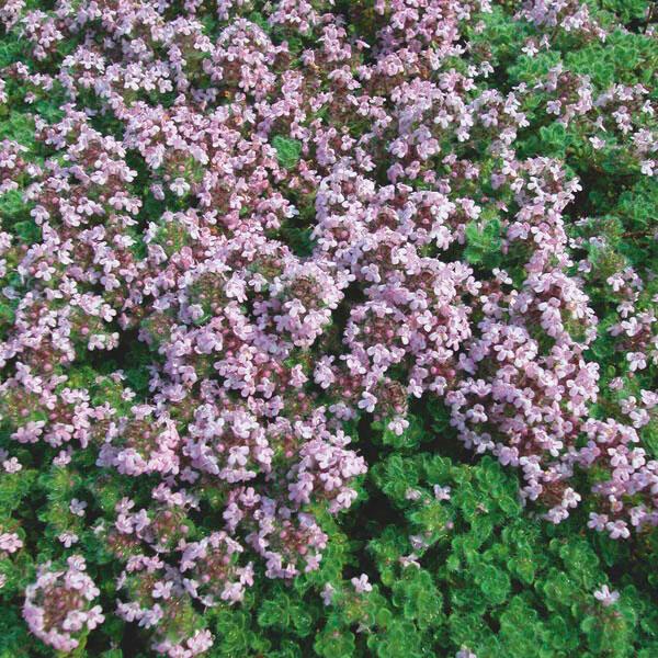 Mateřídouška 'Mountain Select' - Thymus pseudolanuginosus 'Mountain Select'