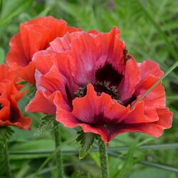 Mák východní 'Beauty of Livermere' - Papaver orientale 'Beauty of Livermere'