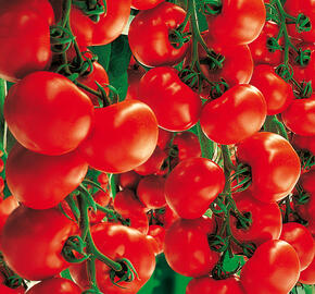 Rajče velkoplodé - roubované 'Culina' F1 - roubované - Lycopersicon esculentum 'Culina' F1 - roubované