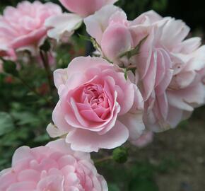 Růže mnohokvětá Meilland 'Bonica 82' - Rosa MK 'Bonica 82'
