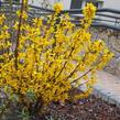 Zlatice prostřední 'Goldrausch' - Forsythia intermedia 'Goldrausch'
