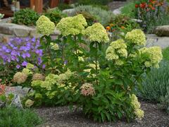 Hortenzie latnatá 'Little Lime' - Hydrangea paniculata 'Little Lime'