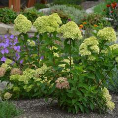 Hortenzie latnatá 'Little Lime' - Hydrangea paniculata 'Little Lime'