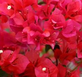 Bugenvilea 'Red' - Bougainvillea buttiana 'Red'