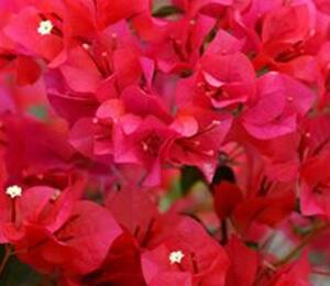 Bugenvilea 'Red' - Bougainvillea buttiana 'Red'