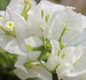 Bugenvilea 'White' - Bougainvillea buttiana 'White'