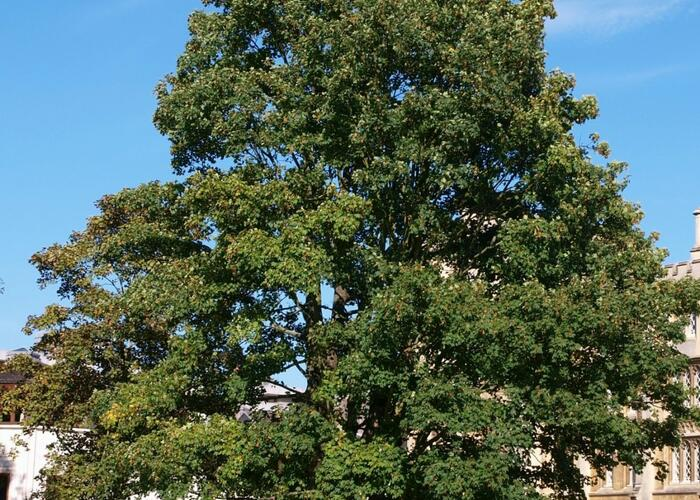 Javor klen - Acer pseudoplatanus
