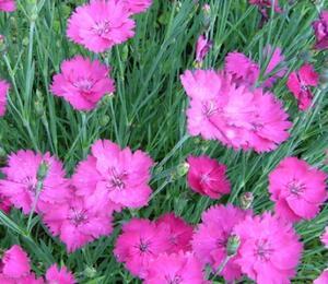 Hvozdík sivý 'Amarant' - Dianthus gratianopolitanus 'Amarant'