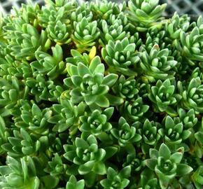 Tlustice - Crassula setulosa