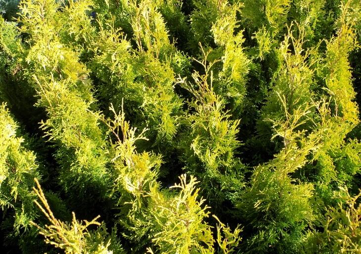 Zerav západní 'Smaragd' - Thuja occidentalis 'Golden Anne'