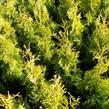 Zerav západní 'Golden Anne' - Thuja occidentalis 'Golden Anne'