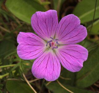 Kakost krvavý 'Lovoš' - Geranium sanguineum 'Lovoš'