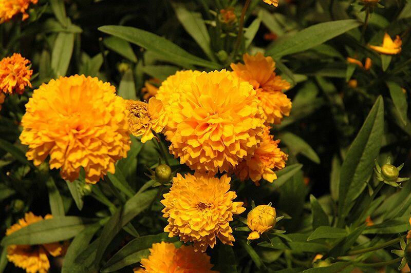 Krásnoočko velkokvěté 'Solanna Compact' - Coreopsis grandiflora 'Solanna Compact'
