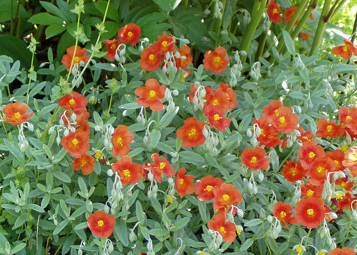 Devaterník 'Watergate Orange' - Helianthemum 'Watergate Orange'