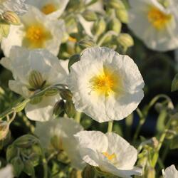 Devaterník 'Snow Queen' - Helianthemum 'Snow Queen'