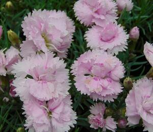 Hvozdík péřitý 'Pikes Pink' - Dianthus plumarius 'Pikes Pink'