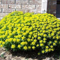 Pryšec mnohobarvý 'Senior' - Euphorbia polychroma 'Senior'