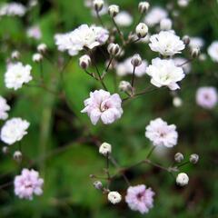 Šater 'Rosenschleier' - Gypsophila hybrida 'Rosenschleier'