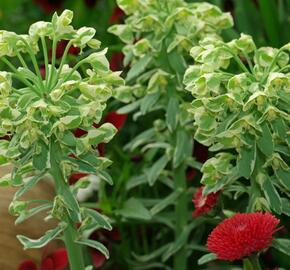 Pryšec hnědokvětý 'Silver Swan' - Euphorbia characias 'Silver Swan'