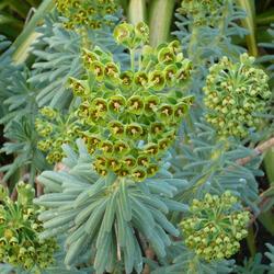 Pryšec 'Baby Charm' - Euphorbia x martinii 'Baby Charm'