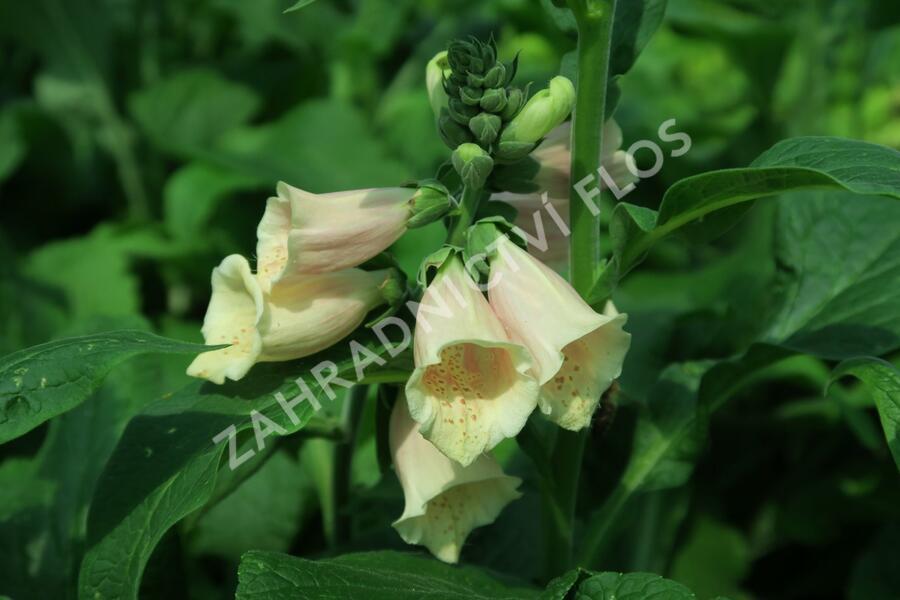 Náprstník červený 'Castor Peach' - Digitalis purpurea 'Castor Peach'