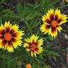 Krásnoočko přeslenité 'Firefly' - Coreopsis verticillata 'Firefly'