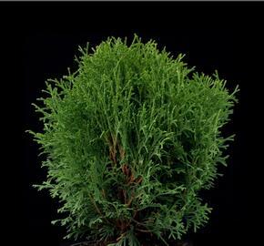 Zerav západní 'Little Gem' - Thuja occidentalis 'Little Gem'