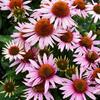 Třapatka nachová 'Papallo Classic Deep Rose' - Echinacea purpurea 'Papallo Compact Rose'
