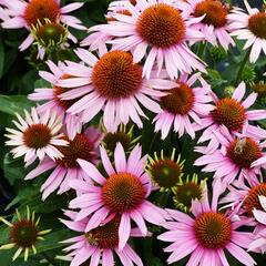 Třapatka nachová 'Papallo Compact Rose' - Echinacea purpurea 'Papallo Compact Rose'
