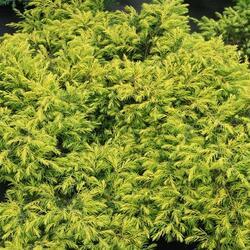 Jalovec pobřežní 'Aurea' - Juniperus conferta 'Aurea'
