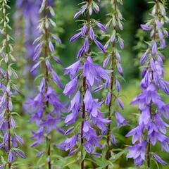 Zvonek jehlanitý 'Lavender Blue' - Campanula pyramidalis 'Lavender Blue'