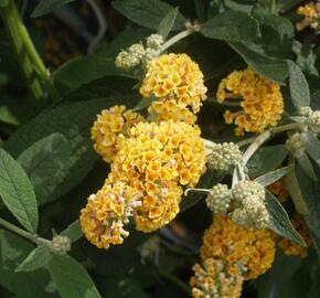 Motýlí keř, komule Weyerova 'Sungold' - Buddleia weyeriana 'Sungold'