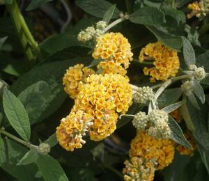 Motýlí keř, Komule 'Sungold' - Buddleia weyeriana 'Sungold'