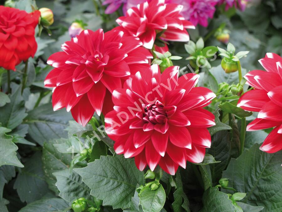 Jiřina 'Dahlietta Lubega Power Red White' - Dahlia 'Dahlietta Lubega Power Red White'