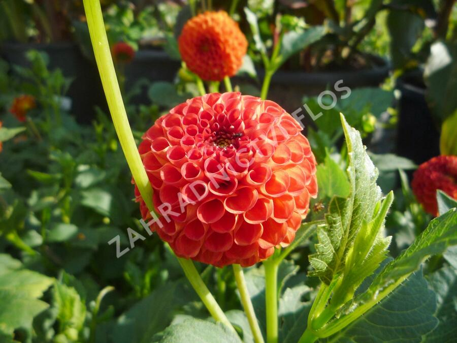 Jiřina 'Pompon Orange' - Dahlia 'Pompon Orange'